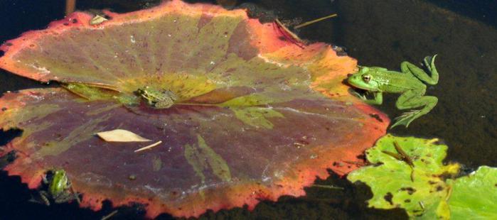 Есть в графском парке тихий пруд..... Там лилии цветут . .Ботанический сад Latour - Marliac. 29319