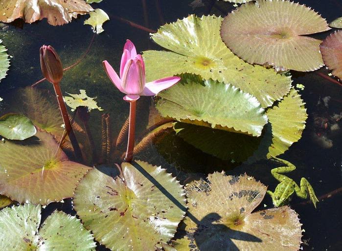 Есть в графском парке тихий пруд..... Там лилии цветут . .Ботанический сад Latour - Marliac. 62734