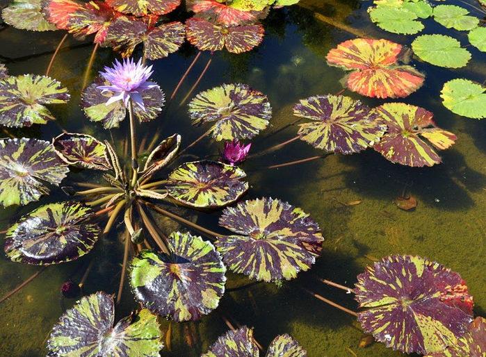 Есть в графском парке тихий пруд..... Там лилии цветут . .Ботанический сад Latour - Marliac. 78097