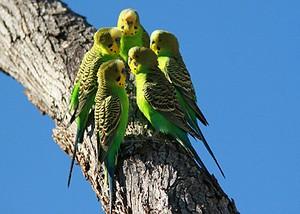 Волнистые попугайчики (300x214, 24Kb)