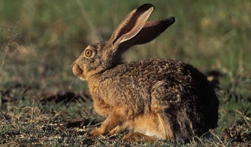 rabbit (500x293, 47Kb)