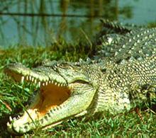 Гребнистого крокодил (220x195, 33Kb)