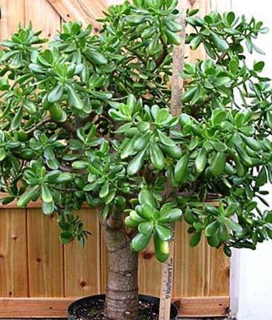 Комнатное растение Толстянка (денежное дерево) фото.