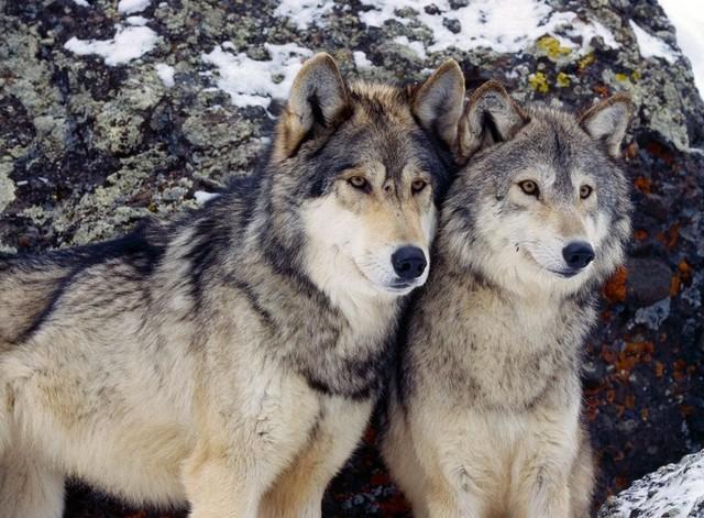 Фильм про настоящего волка . Обсуждение на LiveInternet ...