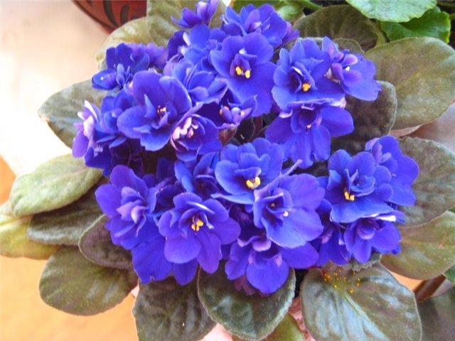 Фиалка или сенполия неприхотливое комнатное растение, оно может цвести почти.