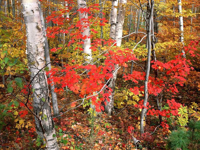 maples--ash--and-birch-trees-in-autumn--vermont (700x525, 162Kb)