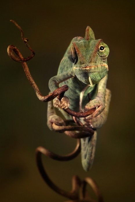 Портретное фото хамелеона от Игоря Сивановича