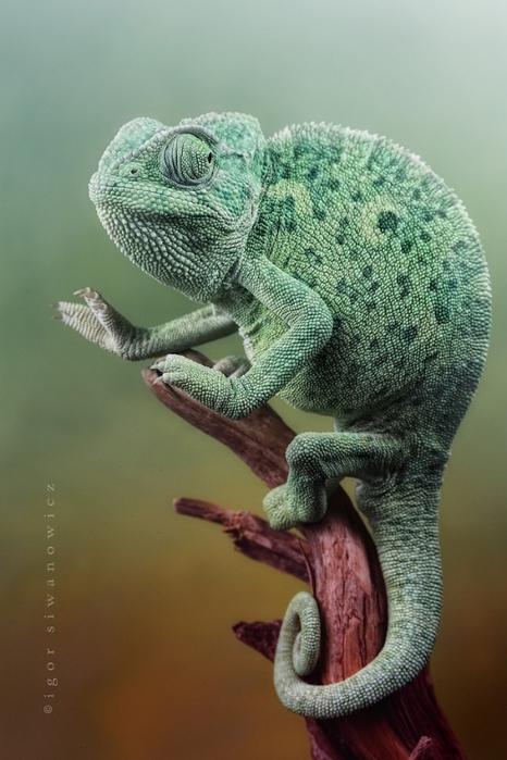Фотки хамелеона