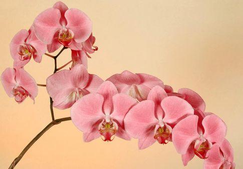Орхидея каких цветов бывает