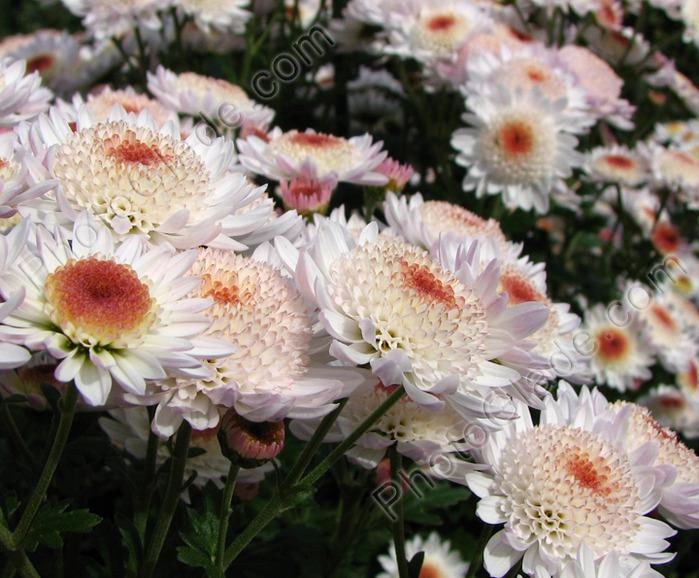Хризантемы  оч красивые  бел-омар (700x578, 163Kb)
