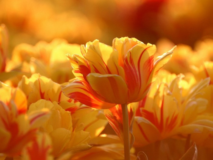 yr-tulips-1024 (700x525, 53Kb)