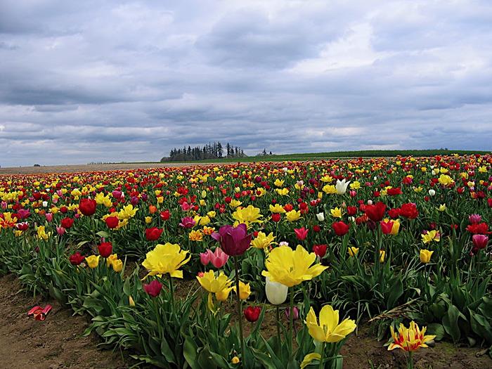 симфония тюльпанов 74709