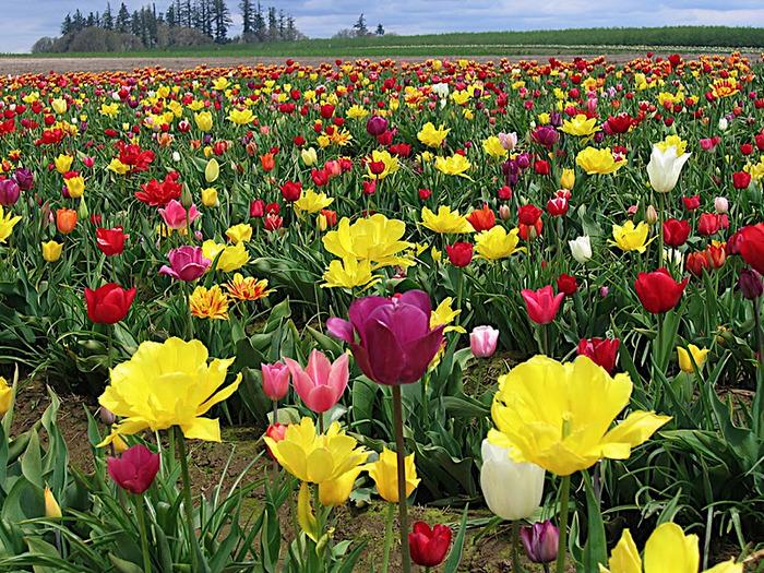 симфония тюльпанов 72020