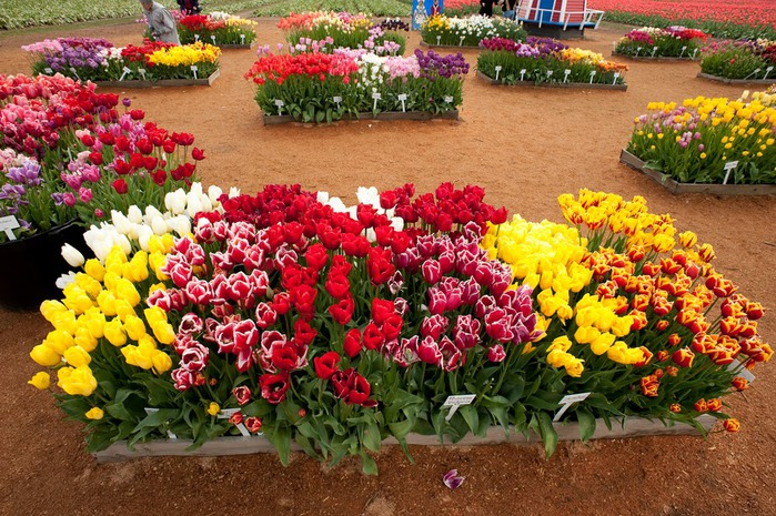 симфония тюльпанов 34215