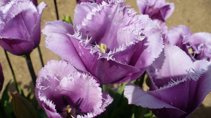 симфония тюльпанов 14935