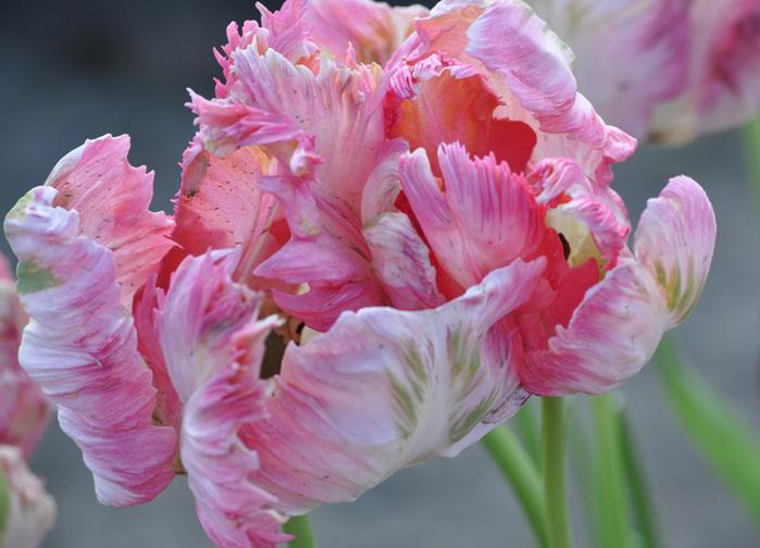 симфония тюльпанов 30532
