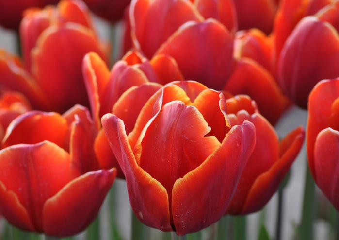 симфония тюльпанов 69200