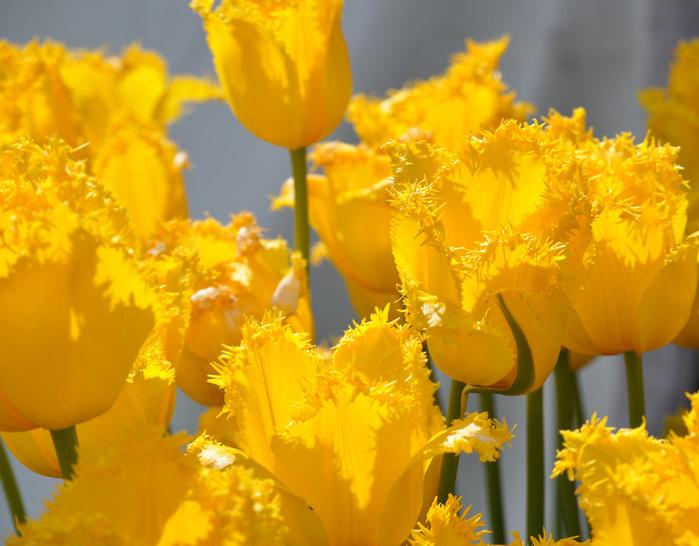 симфония тюльпанов 39412