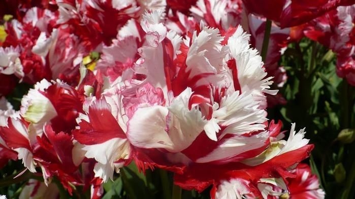симфония тюльпанов 15568