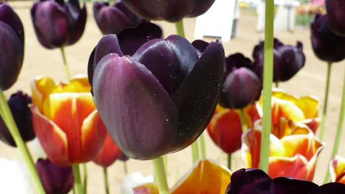 симфония тюльпанов 97015