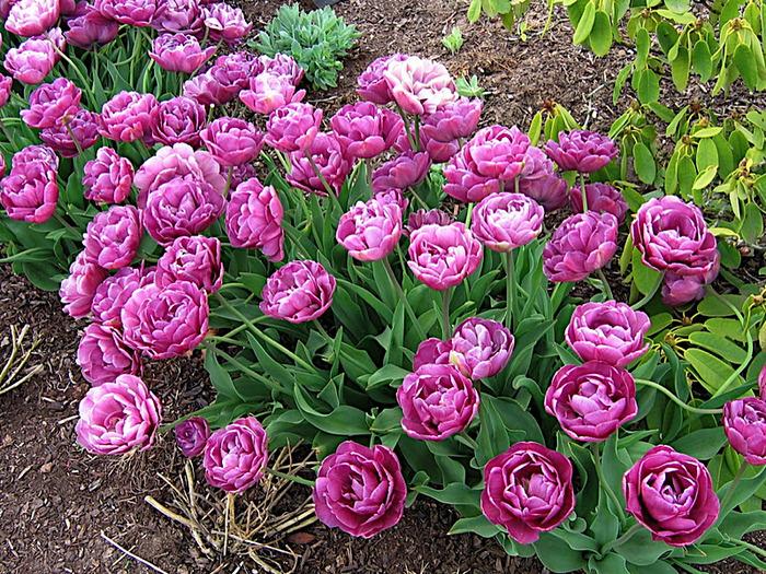 симфония тюльпанов 96245