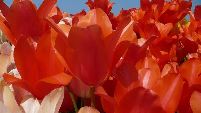 симфония тюльпанов 83394