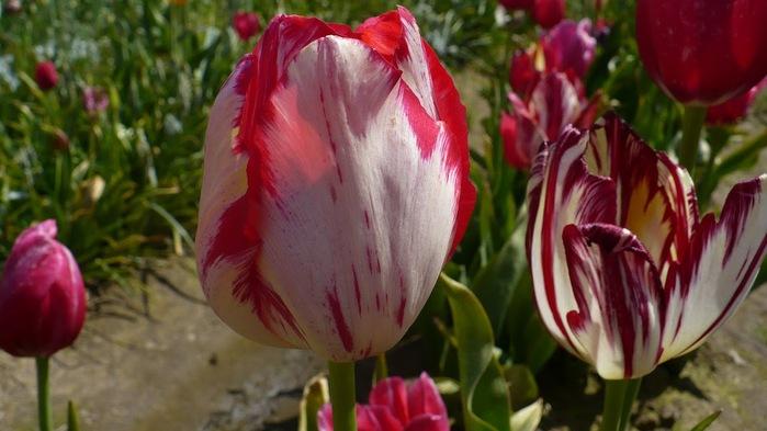 симфония тюльпанов 96643