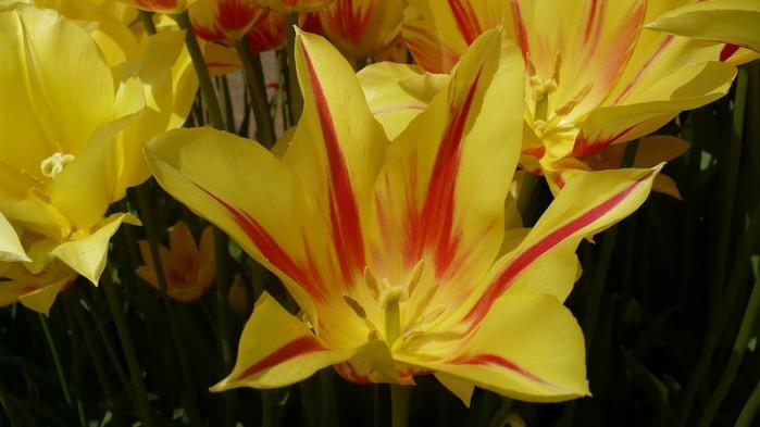 симфония тюльпанов 37845
