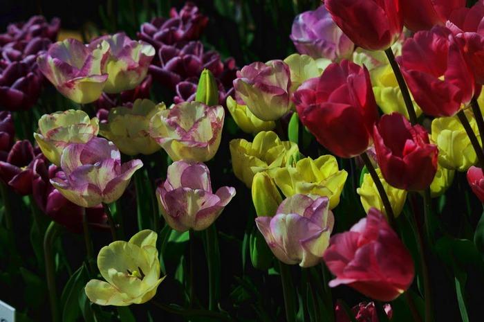 симфония тюльпанов 72511