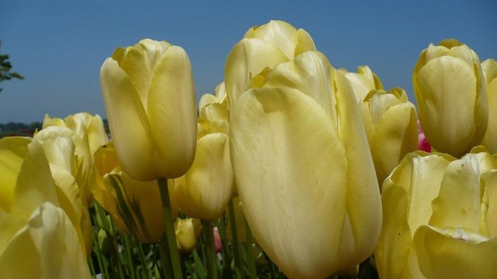 симфония тюльпанов 24541