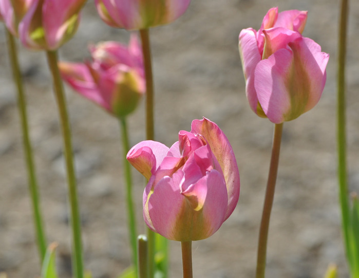 симфония тюльпанов 33338