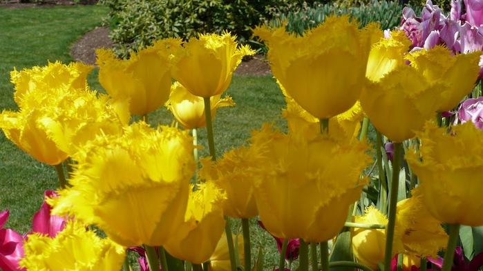 симфония тюльпанов 40374