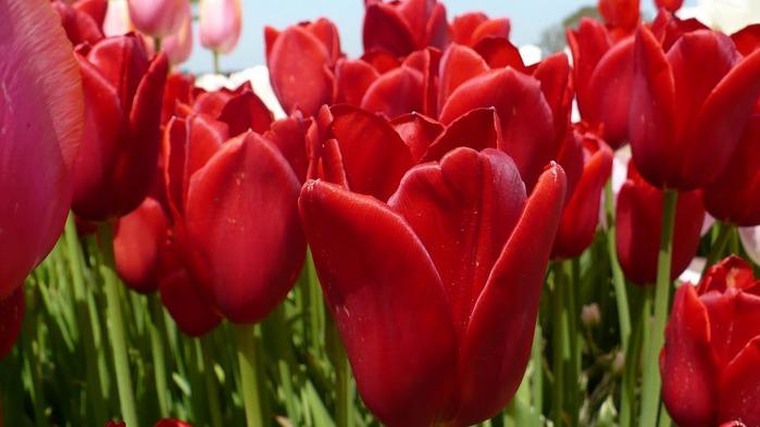 симфония тюльпанов 20417