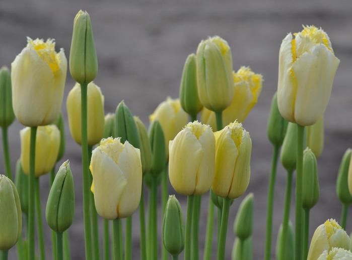 симфония тюльпанов 48402