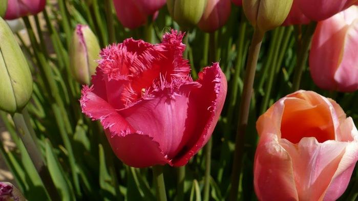 симфония тюльпанов 25327
