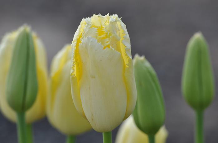 симфония тюльпанов 22061
