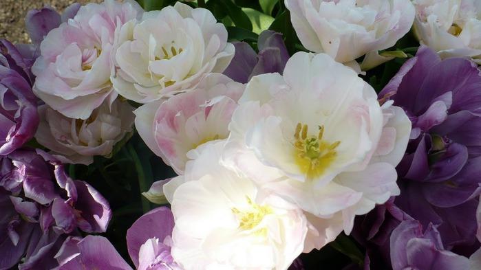 симфония тюльпанов 29934