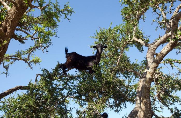 козы на дереве 2 (700x456, 200Kb)