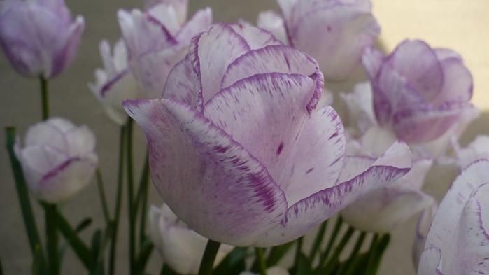 симфония тюльпанов 49808