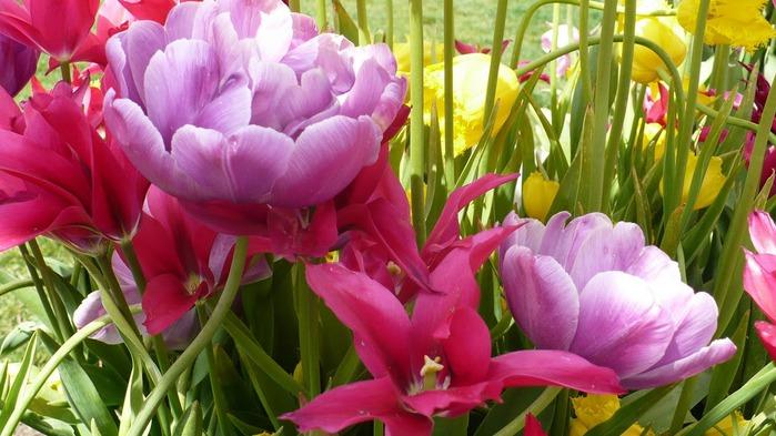 симфония тюльпанов 62272
