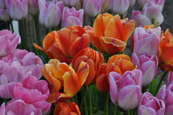 симфония тюльпанов 90016
