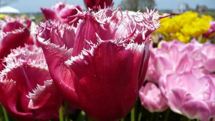 симфония тюльпанов 45402