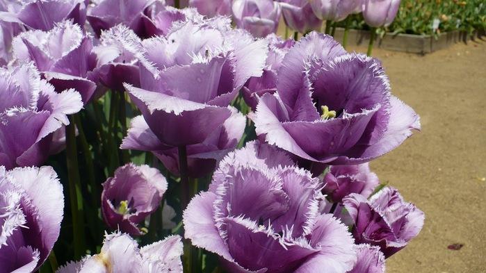 симфония тюльпанов 35013