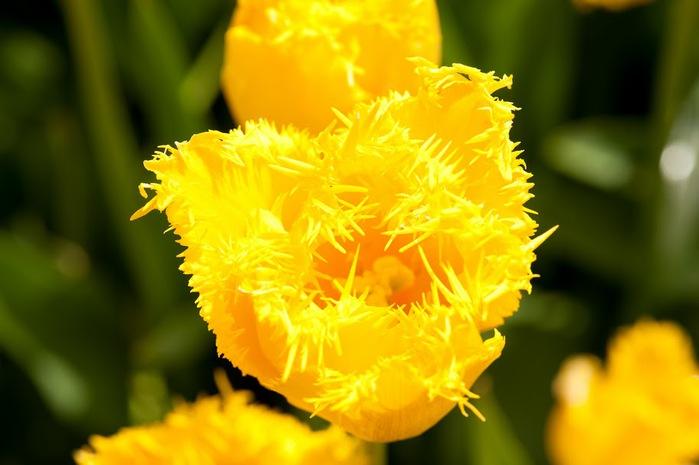 симфония тюльпанов 10457