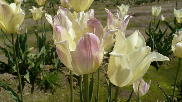 симфония тюльпанов 18208