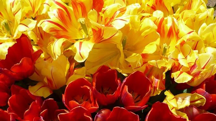 симфония тюльпанов 16031