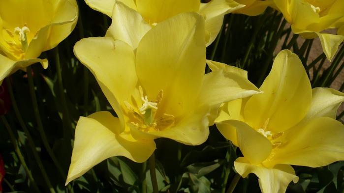 симфония тюльпанов 22451
