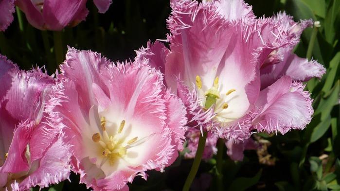 симфония тюльпанов 49861