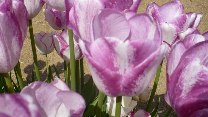 симфония тюльпанов 90780