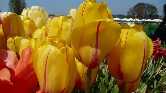 симфония тюльпанов 31976
